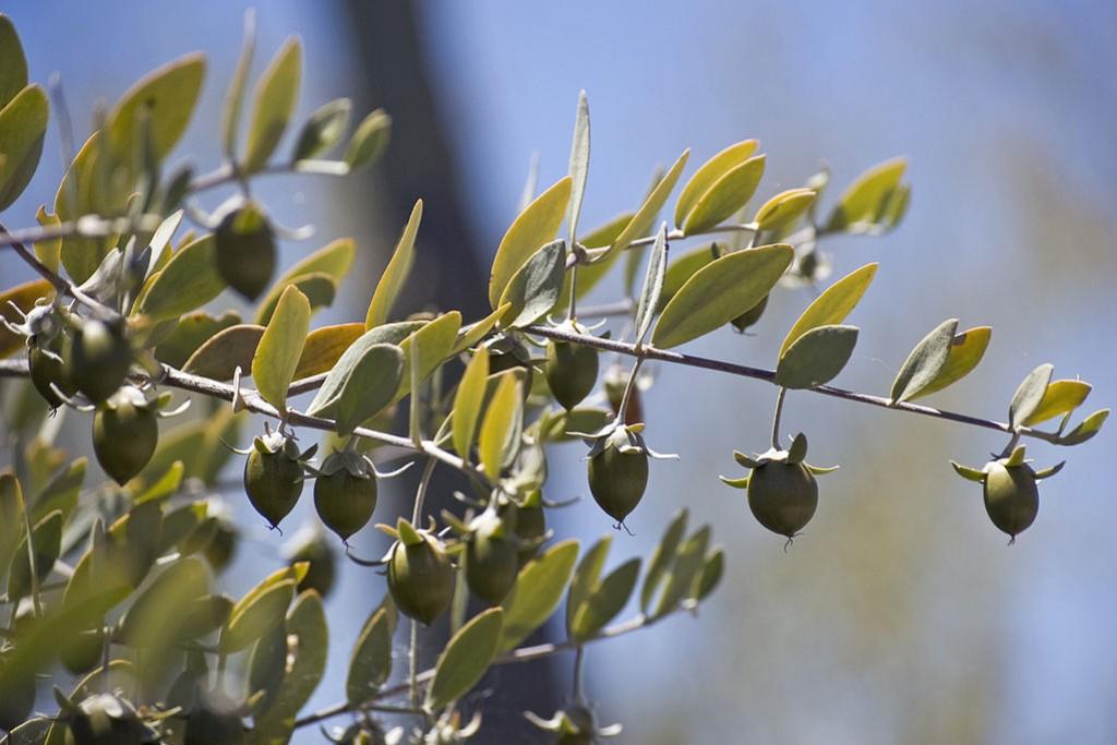 Il jojoba, un ingrediente imprescindibile nella cosmesi bio